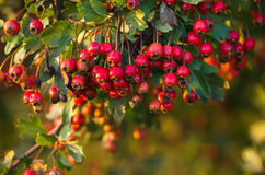 Red a hawthorn Stock Photography