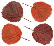 Red Hazel leaf Royalty Free Stock Photos