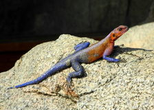Red Head Agama. Agama captured during safari in Kenya Stock Images