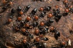 Red head ant honeypot Myrmecocystus close up macro Stock Images