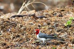 Red head bird Stock Photo