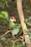 Red head bird. A bird with re head sitting in a tree Stock Photography