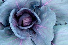 Red head cabbage Stock Photography