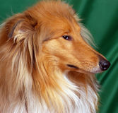 Red-head collie Stock Photo