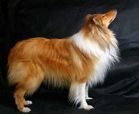 Red-head collie. On dark background Royalty Free Stock Image