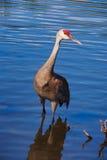 Red Head Crane Stock Photos