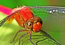 Red head dragonfly Stock Photography