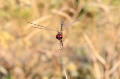 Red-head dragonfly Stock Photos
