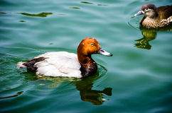 Red Head Duck Swimming Royalty Free Stock Photography