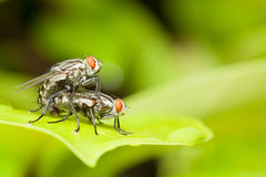Red head flies are breeding on green leaf,love and romantic conc Royalty Free Stock Photo