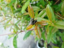 Red head flies Bromophila caffra are breeding on young leaves pomegranate stock photo