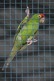 Red head green parrot in cage Stock Photography