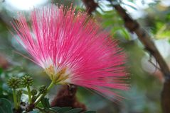 Red head powder puff Flower. Scent of Asian exotic flower royalty free stock image