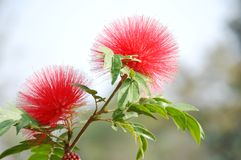 Red head powder puff Flower Stock Photos