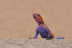 Red head rock agama lizard Stock Images