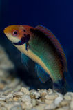 Red Head Solon Fairy Wrasse Royalty Free Stock Image