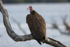 Red head Vulture Stock Photos