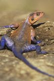 Red-headed Agama Royalty Free Stock Photos