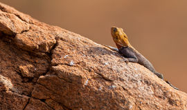 Red-headed Agama Stock Photography