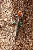 Red headed agama lizard, Amboseli. Male red headed agama tree lizard on a tree in Amboseli Stock Photography
