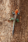 Red headed agama lizard, Amboseli Stock Photography