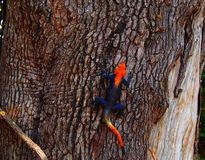 Red-headed agama resting against brown bark of tree stock photos