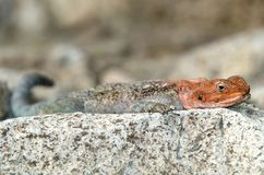Red headed agama, sunbaking lying on rock, africa Royalty Free Stock Photos