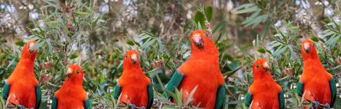 Red headed Australian male king parrots Royalty Free Stock Image