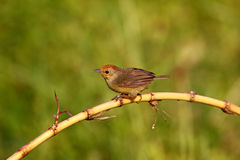 Red-headed Babbler, Stachyris ruficeps Royalty Free Stock Images