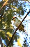 Red headed barbet. Beautiful shot of red headed barbet Royalty Free Stock Images