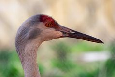 Red Headed Sandhill Crane Stock Photos