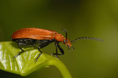Red-headed Cardinal Beetle Stock Photo