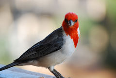 Red Headed Cardinal Bird Standing on a Railing Stock Photography