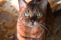 Red-headed cat. Beautiful redhead Bengal cat with green eyes Royalty Free Stock Photo