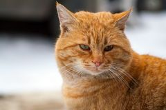 Red-headed cat is beautiful and smart. Wild red cat The street cat named Bob red color is beautiful and smart Stock Photos