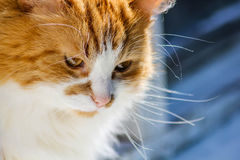 Red-headed cat. The mustachioed striped, red with red cat royalty free stock image