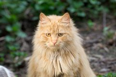 Red-headed cat. At the summer farm Royalty Free Stock Photography