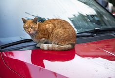 Cat on da Hood Stock Photo