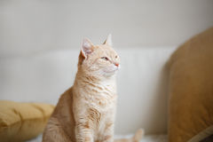 Red-headed cat Royalty Free Stock Photos