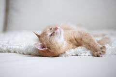 Red-headed cat Stock Photos