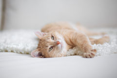 Red-headed cat Royalty Free Stock Images