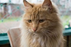 Red-headed cat. At the summer farm Stock Photography