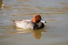 Red headed duck. A redhead duck swimming on a lake Royalty Free Stock Images