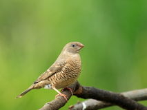 Red headed female finch Royalty Free Stock Photo