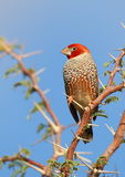 Red-headed Finch Stock Photos