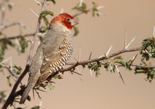 Red-headed Finch Stock Photography