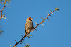 Red headed Finch in Acacia tree Royalty Free Stock Photography