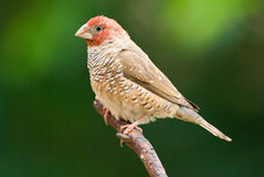 Red-headed finch amadina erythrocephala. Red-headed finch adult male Royalty Free Stock Images