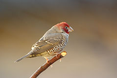 Red-headed finch amadina erythrocephala. Red-headed finch adult male royalty free stock photo