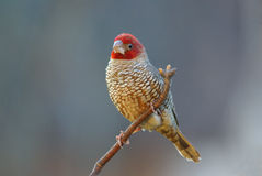 Red-headed finch amadina erythrocephala. Red-headed finch adult male royalty free stock photos
